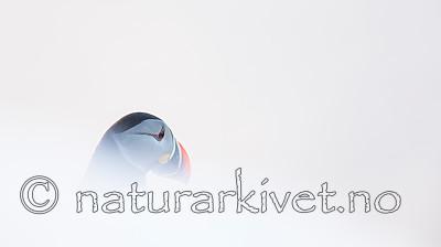 KA_150406_112 / Fratercula arctica / Lunde
