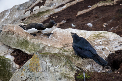 KA_150407_289 / Alca torda / Alke <br /> Corvus corax / Ravn