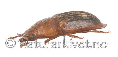 KA_150423_marginata_lateral / Amphotis marginata