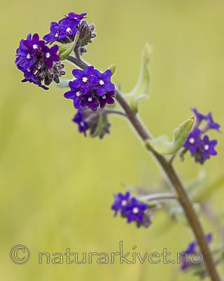 KA_150607_4 / Anchusa officinalis / Oksetunge