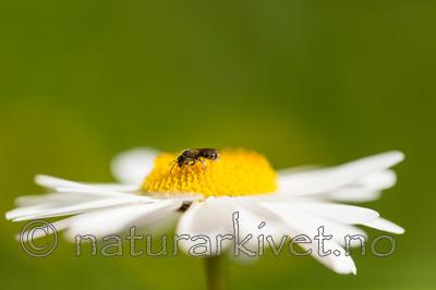 KA_150615_12 / Leucanthemum vulgare / Prestekrage