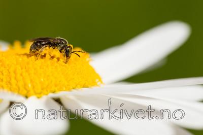 KA_150615_14 / Leucanthemum vulgare / Prestekrage