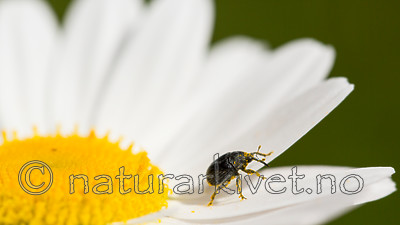 KA_150615_17 / Leucanthemum vulgare / Prestekrage