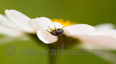 KA_150615_18 / Leucanthemum vulgare / Prestekrage