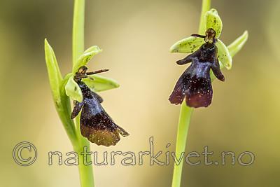 KA_150616_6 / Ophrys insectifera / Flueblom