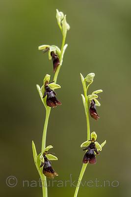 KA_150619_1 / Ophrys insectifera / Flueblom
