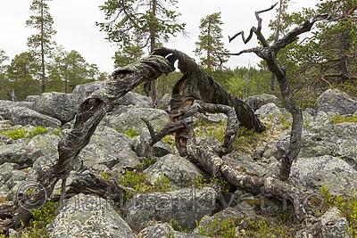 KA_150708_25 / Pinus sylvestris / Furu