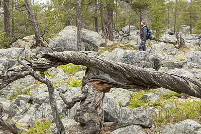 KA_150708_31 / Pinus sylvestris / Furu