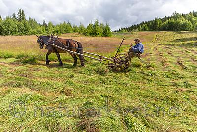 KA_150730_319 / Equus caballus / Hest