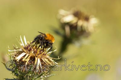 KA_150814_4 / Carlina vulgaris / Stjernetistel