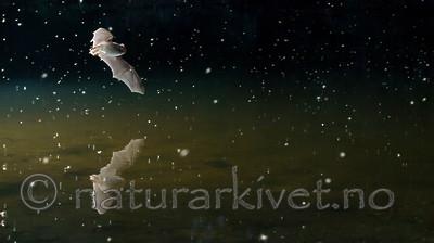 KA_150821_7 / Myotis daubentonii / Vannflaggermus