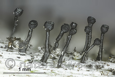 KA_160219_denigratum_mm / Calicium denigratum / Blanknål