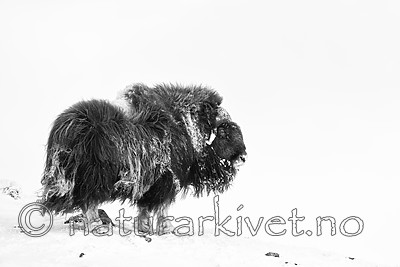 KA_160306_68-sh / Ovibos moschatus / Moskusfe