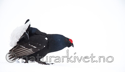 KA_160402_214 / Tetrao tetrix / Orrfugl
