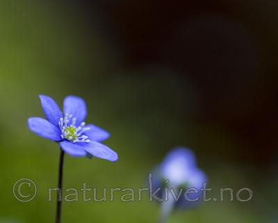 KA_160428_8 / Hepatica nobilis / Blåveis