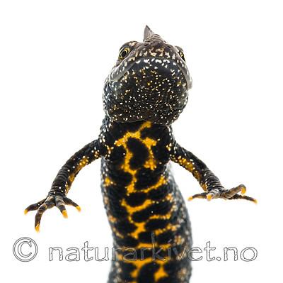 KA_160501_20 / Triturus cristatus / Storsalamander