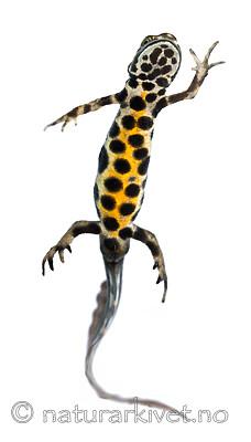 KA_160501_72 / Lissotriton vulgaris / Småsalamander