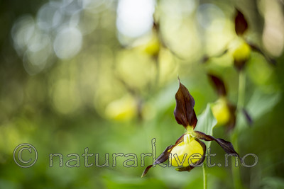 KA_160604_39 / Cypripedium calceolus / Marisko