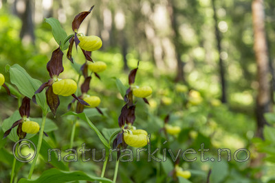 KA_160604_48 / Cypripedium calceolus / Marisko
