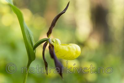 KA_160604_50 / Cypripedium calceolus / Marisko