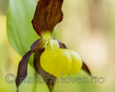 KA_160604_55 / Cypripedium calceolus / Marisko