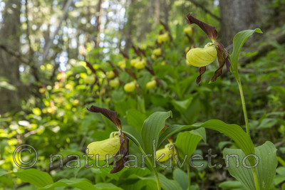KA_160604_93 / Cypripedium calceolus / Marisko