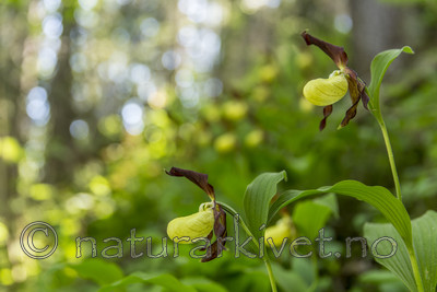 KA_160604_94 / Cypripedium calceolus / Marisko