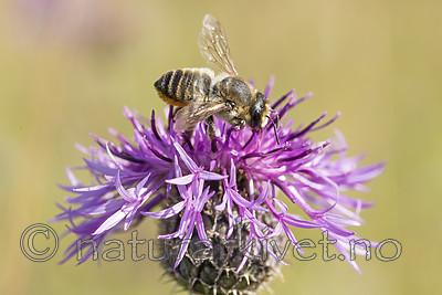 KA_160708_35 / Centaurea scabiosa / Fagerknoppurt <br /> Megachile lagopoda / Storbladskjærerbie