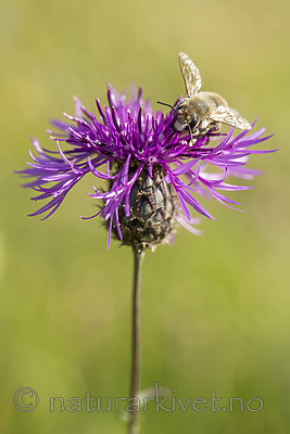 KA_160708_53 / Centaurea scabiosa / Fagerknoppurt <br /> Megachile lagopoda / Storbladskjærerbie