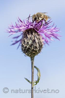 KA_160708_59 / Centaurea scabiosa / Fagerknoppurt <br /> Megachile lagopoda / Storbladskjærerbie