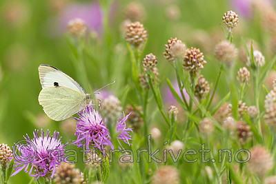 KA_160722_109 / Centaurea jacea / Engknoppurt <br /> Pieris brassicae / Stor kålsommerfugl