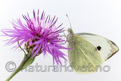 KA_160722_116 / Centaurea jacea / Engknoppurt <br /> Pieris brassicae / Stor kålsommerfugl