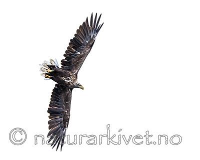 KA_160815_15 / Haliaeetus albicilla / Havørn