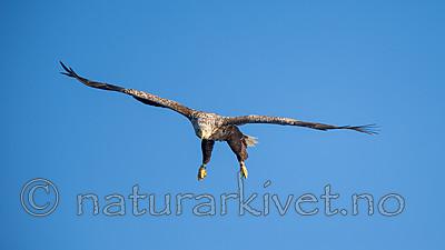 KA_160816_237 / Haliaeetus albicilla / Havørn