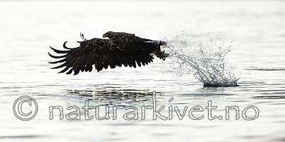 KA_160816_28 / Haliaeetus albicilla / Havørn
