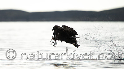 KA_160816_29 / Haliaeetus albicilla / Havørn
