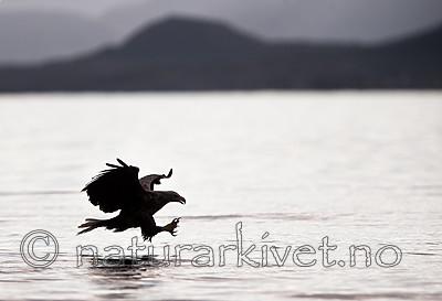 KA_160816_57 / Haliaeetus albicilla / Havørn