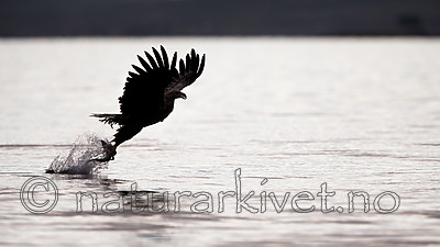 KA_160816_59 / Haliaeetus albicilla / Havørn