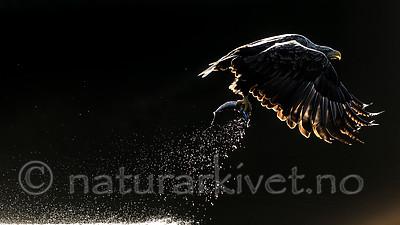 KA_160817_62 / Haliaeetus albicilla / Havørn