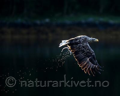 KA_160817_68 / Haliaeetus albicilla / Havørn