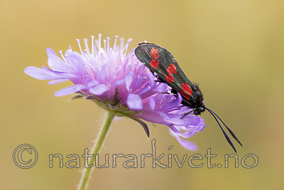 KA_170724_47 / Knautia arvensis / Rødknapp <br /> Zygaena filipendulae / Seksflekket bloddråpesvermer
