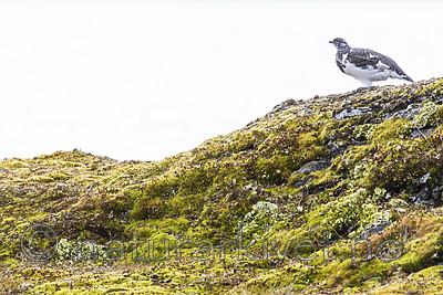 KA_170924_211 / Lagopus muta / Fjellrype
