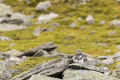 KA_170924_254 / Lagopus muta / Fjellrype