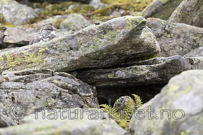 KA_170924_265 / Lagopus muta / Fjellrype