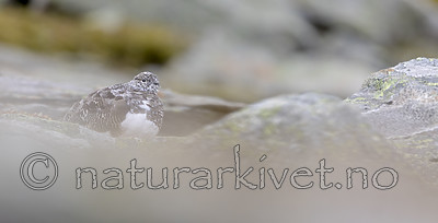 KA_170924_273 / Lagopus muta / Fjellrype