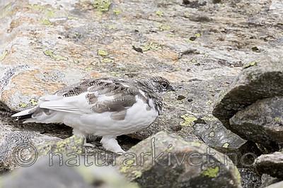 KA_170924_290 / Lagopus muta / Fjellrype