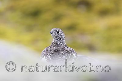 KA_170924_310 / Lagopus muta / Fjellrype