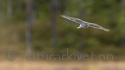 KA_171014_132 / Accipiter nisus / Spurvehauk