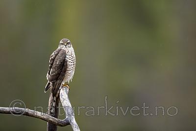 KA_171015_13 / Accipiter nisus / Spurvehauk
