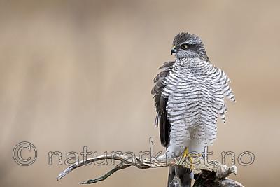 KA_171015_159 / Accipiter nisus / Spurvehauk